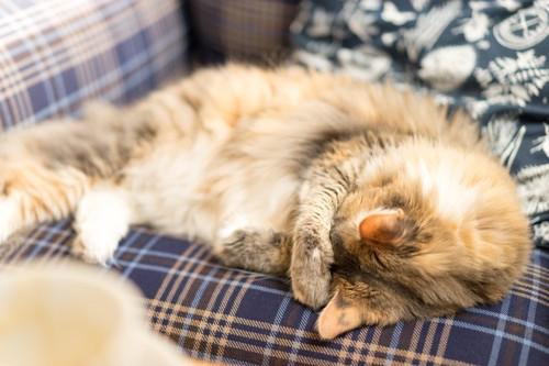 チェック柄のソファの上で顔を隠す猫