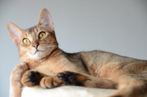 ベッドでくつろぐオスの成猫