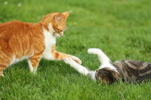 芝生の上でじゃれ合う二匹の猫
