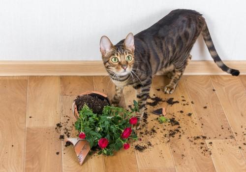割れている植木鉢とびっくりした顔の猫