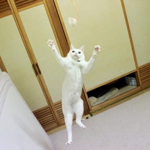 ハンドボール部のような白猫さん