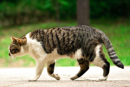 外を歩いている猫