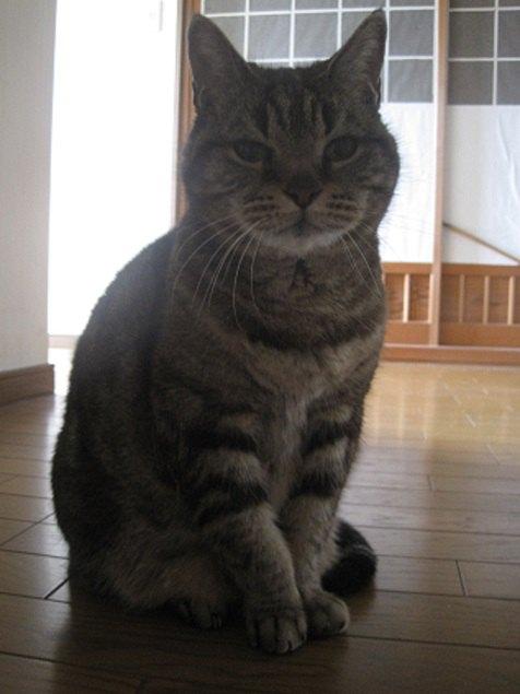 正面を向いた猫の写真
