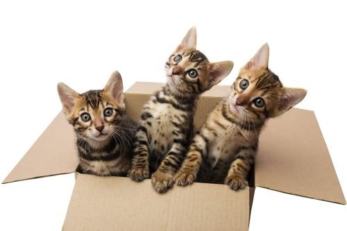 段ボールの中のベンガル子猫3匹