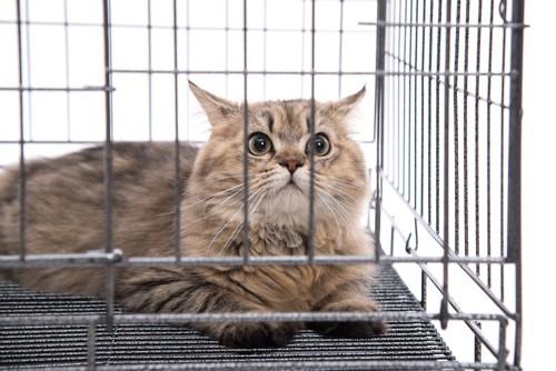 ケージの中でびっくりしている長毛種の猫