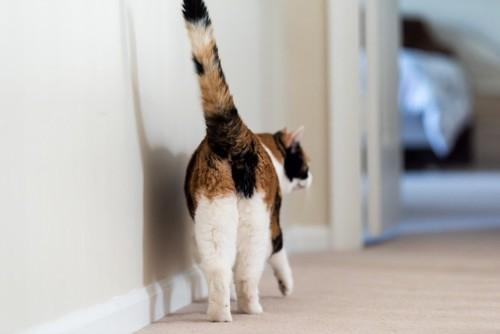 しっぽを高く上げて歩く三毛猫
