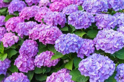 たっぷりと咲く紫陽花