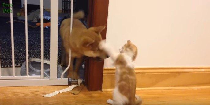 柴犬と子猫2