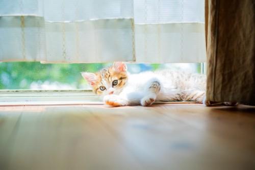 カーテンの下から覗く猫