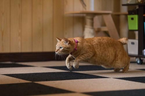 部屋の中でダッシュする茶トラ猫