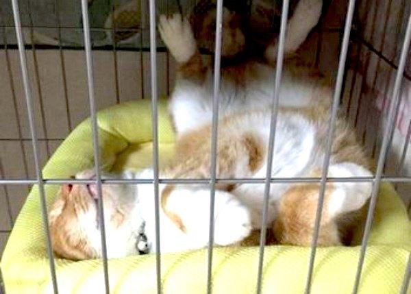 ケージの中で仰向けで寝ている