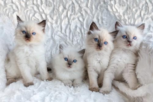寄り添う四匹のラグドールの子猫