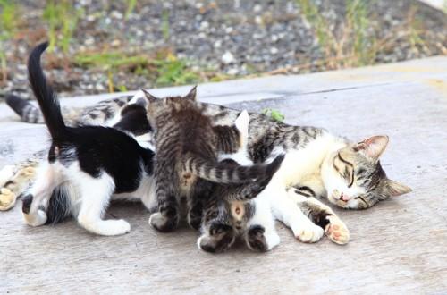 母猫のミルクを飲む子猫