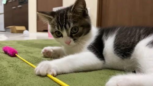 猫じゃらしの上に前足を置く子猫