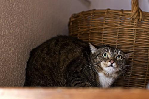 上を見つめて姿勢を低くして警戒する猫
