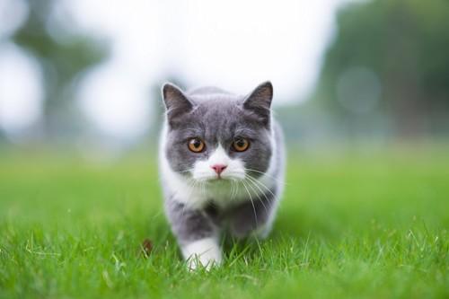 芝の上をこちらに来る猫