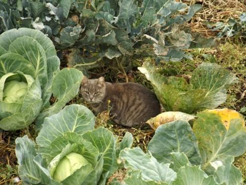 キャベツ畑の猫
