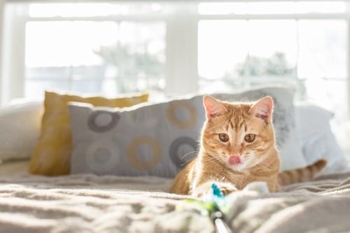 ベッドの上で猫じゃらしで遊ぶ猫