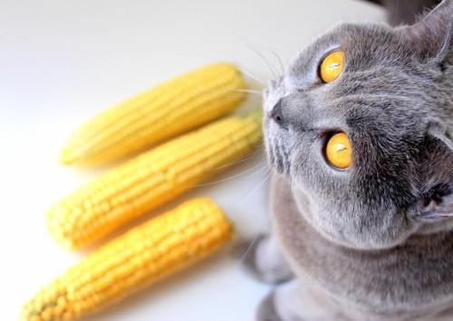 とうもろこしの前に座る猫