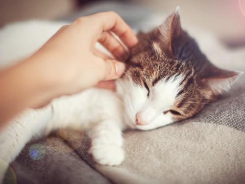 人に撫でられて気持ちよさそうな猫