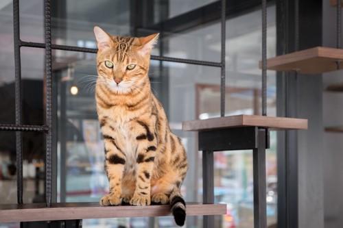 猫カフェで座っている猫
