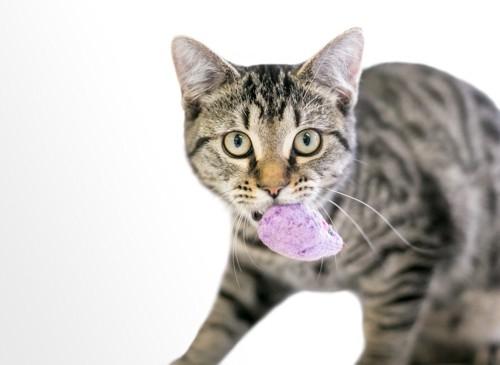 おもちゃを咥えている猫