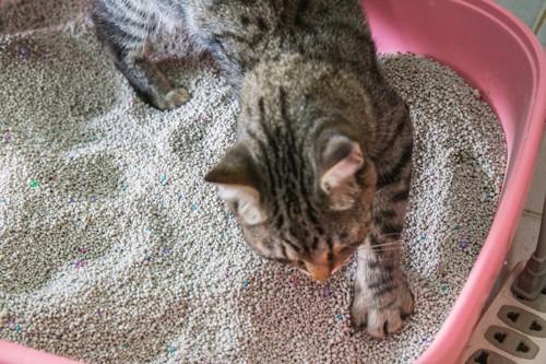 トイレの砂をかく猫