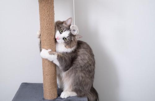 爪研ぎポールにかじるつく猫