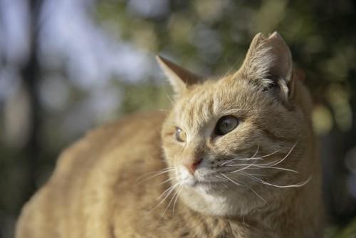 桜耳の茶トラ猫