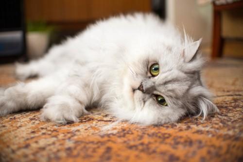 寝そべるペルシャ猫