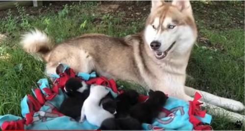 寝そべるハスキー犬と子猫