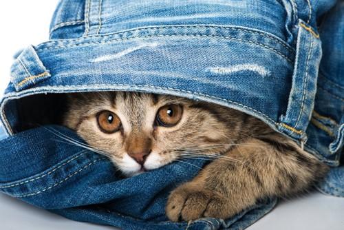 ジーンズからのぞく猫