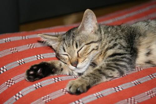 布団の上で眠るキジトラ猫