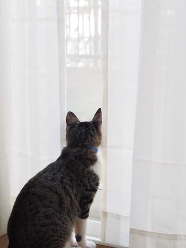 カーテン越しに外をみる猫