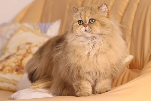 椅子の上の世界一高い猫かもしれないペルシャ猫