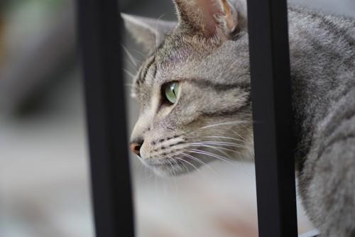 格子越しの猫