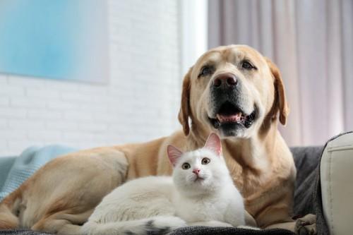 ラブラドールレトリバーと一緒にソファーで寛ぐ白い猫