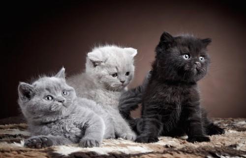 寄り添う三匹のブリティッシュショートヘアの子猫