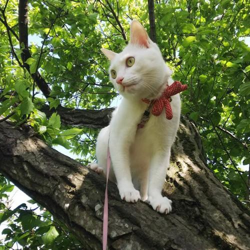 木登りする美しい白猫