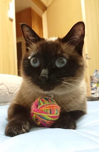 毛糸玉をかかえる猫