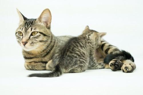 母猫のおっぱいを吸う子猫