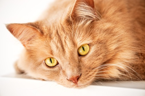こちらを見る猫の顔