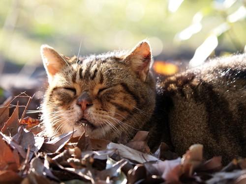 落ち葉の上で寝ている猫
