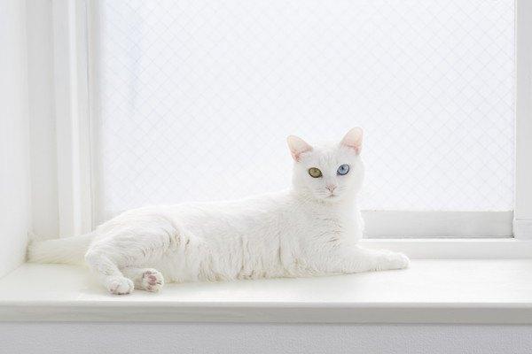 窓際でくつろぐ白い猫