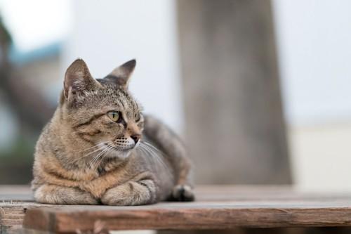 何かを見つめる外猫
