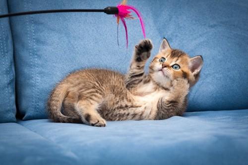 ソファの上で猫じゃらしにじゃれる子猫