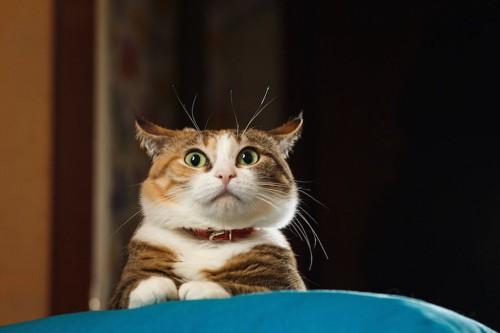 驚いてイカ耳をしている猫