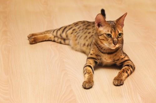 フローリングでくつろぐベンガル猫