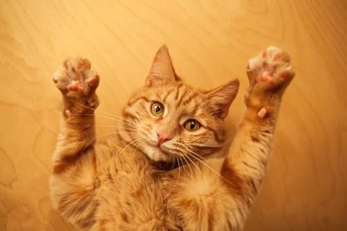 両手を広げている茶トラ猫