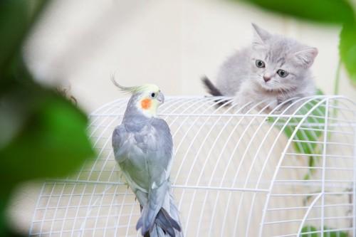 鳥かごの上のオウムと見つめ合う子猫
